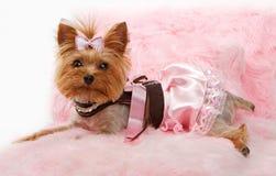 Cão do terrier de Yorkshire em uma cama cor-de-rosa luxuosa Foto de Stock