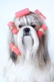 Cão do tzu de Shih Imagens de Stock