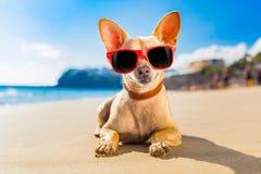 Cão do verão da chihuahua Fotografia de Stock