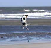 Cão do voo Fotografia de Stock Royalty Free