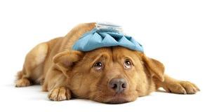 Cão doente Imagem de Stock Royalty Free