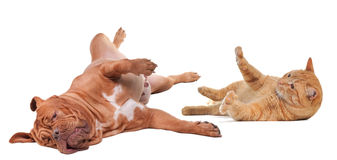 Cão e gato que jogam o giro upside-down Imagens de Stock Royalty Free