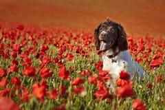 Cão em campos da papoila Imagens de Stock