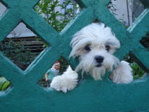 Cão engraçado bonito do bichon que olha fora de sua jarda Imagens de Stock