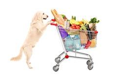 Cão engraçado do perdigueiro que empurra um carrinho de compras completamente dos produtos alimentares Fotografia de Stock Royalty Free