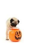 Cão engraçado do pug Fotografia de Stock