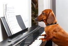 Cão engraçado que joga o piano Fotografia de Stock