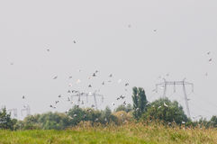 co-existence: flock of birds flying and power poles Royalty Free Stock Images