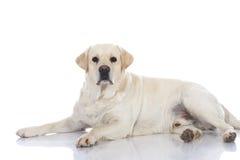 Cão gordo do retriever Fotografia de Stock Royalty Free