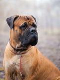 Cão inglês do mastiff Fotografia de Stock