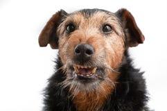 Cão irritado Imagem de Stock Royalty Free