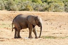 Co jest to - afrykanina Bush słoń Zdjęcie Royalty Free
