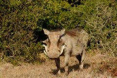Co jest Up - Phacochoerus africanus pospolity warthog Zdjęcie Royalty Free