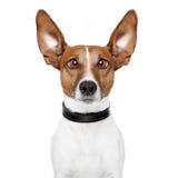 Cão louco com os olhos preguiçosos grandes Imagem de Stock