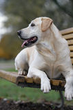 Cão louro do retriever de Labrador Imagem de Stock Royalty Free