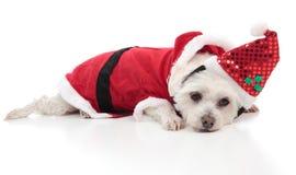 Cão maltês que desgasta um traje de Santa Fotos de Stock