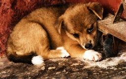 Cão marrom pequeno tímido bonito no canto da jarda Fotos de Stock Royalty Free