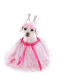Cão mimado Imagem de Stock
