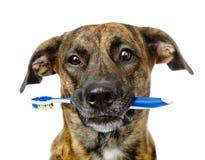 Cão misturado da raça com uma escova de dentes Isolado no fundo branco Fotos de Stock