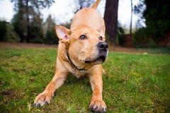 Cão misturado laboratório da raça de Pitbull Fotos de Stock