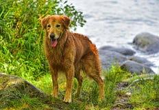 Cão molhado mais velho que espera alguém para jogar com HDR Fotos de Stock Royalty Free