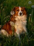 Cão na grama Foto de Stock
