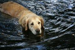Cão na água Imagens de Stock Royalty Free