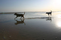 Cão na praia Foto de Stock Royalty Free