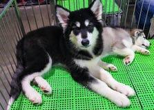 Cão novo do cão de puxar trenós siberian Imagem de Stock