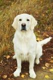 Cão novo do retriever dourado Imagem de Stock