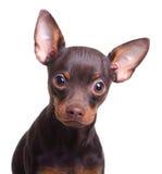 Cão novo do terrier de brinquedo isolado Fotografia de Stock Royalty Free