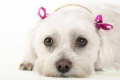Cão Pampered Fotografia de Stock Royalty Free