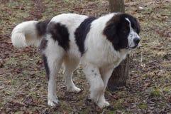 Cão-pastor de Bucovina Foto de Stock Royalty Free