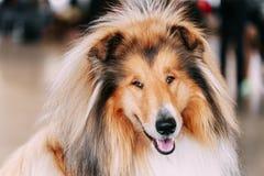 Cão pastor de Shetland vermelho engraçado, Sheltie, collie Fotografia de Stock