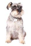 Cão pequeno adorável Imagem de Stock Royalty Free