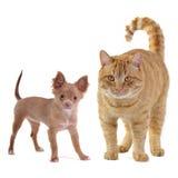 Cão pequeno e gato grande Fotografia de Stock Royalty Free