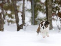 Cão pequeno travado na ação Fotografia de Stock