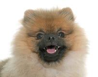Cão pomeranian novo Imagens de Stock
