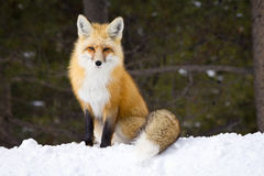 Co Powiedział Fox? Fotografia Stock