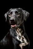 Cão preto Imagens de Stock