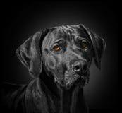 Cão preto Imagem de Stock