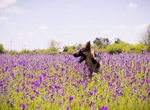 Cão que anda no campo com flores violetas Foto de Stock Royalty Free