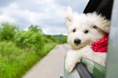 Cão que aprecia um passeio Imagens de Stock Royalty Free
