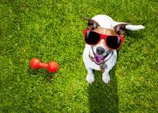 Cão que joga com brinquedo ou osso Fotos de Stock