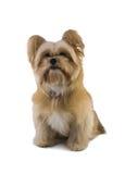 Cão que olha acima Fotografia de Stock