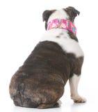 Cão que senta-se da parte traseira Fotografia de Stock