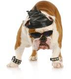 Cão resistente do motociclista Foto de Stock Royalty Free