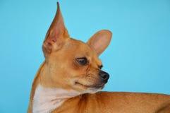 Cão romântico da chihuahua Imagens de Stock