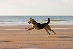 Cão Running Fotografia de Stock Royalty Free