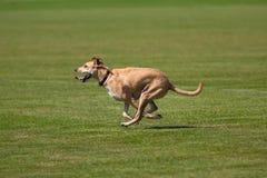 Cão running Imagem de Stock